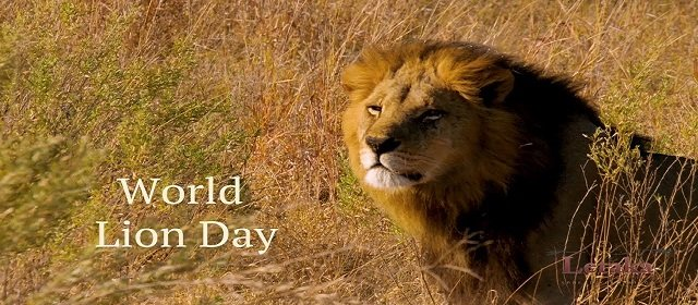 World Lion Day king of the jungle