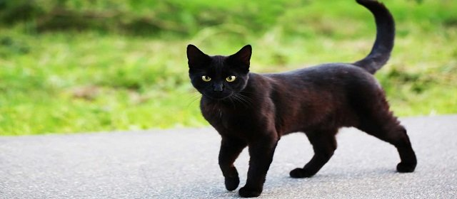 40 Fun Facts about Black Cat