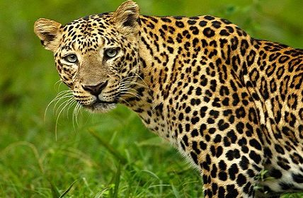 Amazing and fun facts about Leopard
