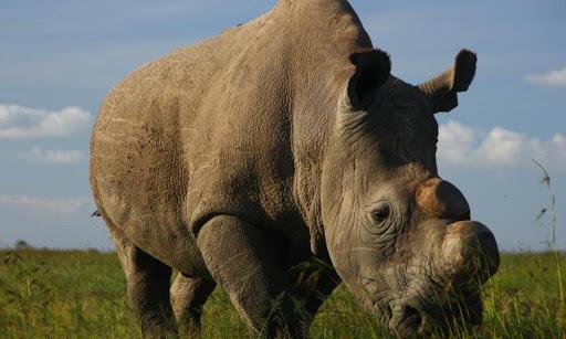 Sudan the Worlds Last Male Northern White Rhino