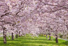 Famous cherry blossoms in Washington D.C. and Japan bloom early as the climate warms